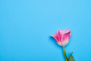 High angle of one separated tulip flower over blue flatlay