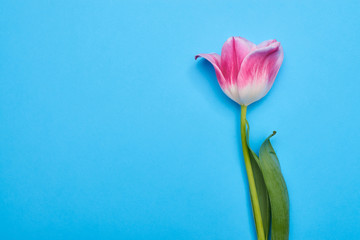 Top view of cup-shaped blossom pink tulip over blue flatlay