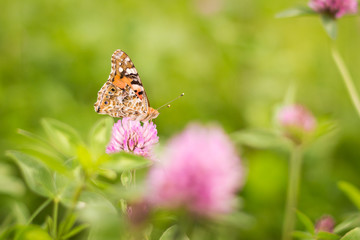 Schmetterling auf einer Klee Blüte