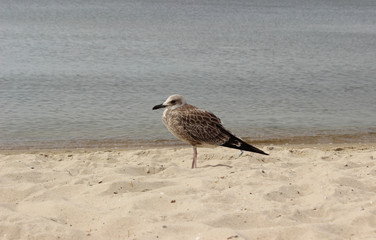 Seagull on the sand against the sea, the bird in the summer