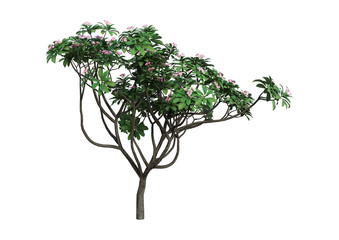 3D Rendering Plumeria Tree on White