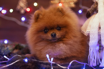 Pomeranian dog in Christmas decorations on wooden background. Christmas dog. Happy New Year