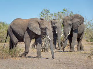 Family of elephants from the vast herds grazing in african savannah in the National Park Chobe - Botswana, , South-West Africa