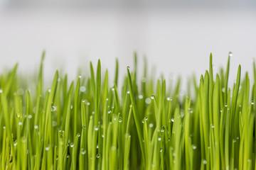 Obraz Krople rosy na młodej trawie. - fototapety do salonu