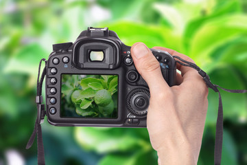 Male hand taking photo of a lemon tree with green lemons with digital DSLR camera.
