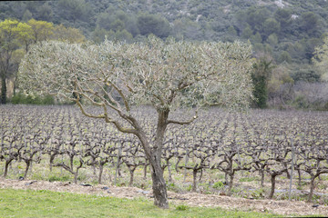 Olive Trees and Vineyard, Provence