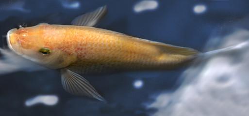 Koi fish in blue
