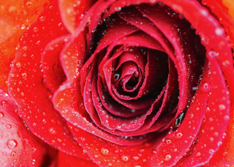 Vibrant fresh close up isolated beautiful macro pink orange red rose water drops. Selective focus.
