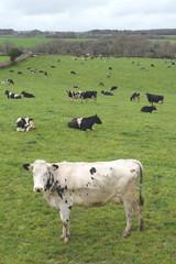 Wall Mural - Herd of cows on a farmland in Devon