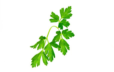 Curly Leaf Parsley sprig from the garden