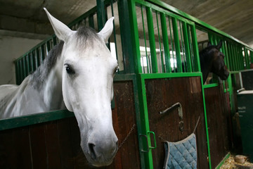 Horses in stable