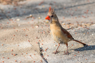 Female Cardinal bird on the ground looking for food.