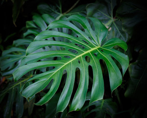Tropical Leaf with Abstract Shape Growing Wild in Hawaii