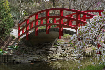 Red arched bridge and cherry blossoms in a Japanese garden.