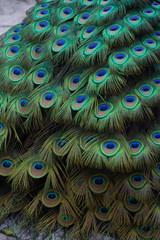 peacock plumage array