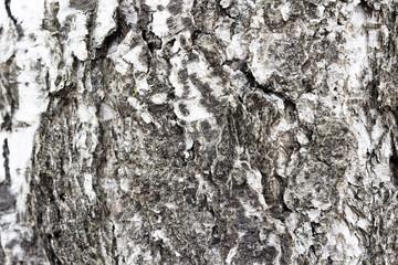 Wood texture tree. Wooden background. Tree bark