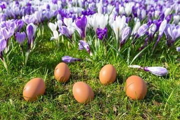 Five loose eggs lying near blooming crocuses
