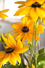gelbe Blumen,  Sonnenhut