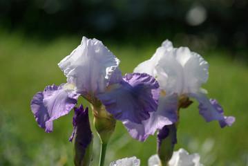 Iris bicolores bleu et blanc au jardin au printemps