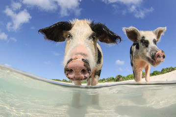 Two young pigs standing in shallow water on Pig Beach in Bahamas