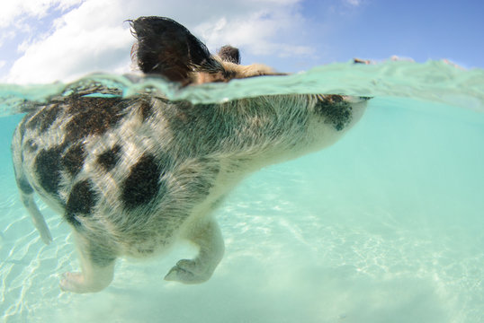 Over-under of spotted pig swimming in the Bahamas at Pig Beach