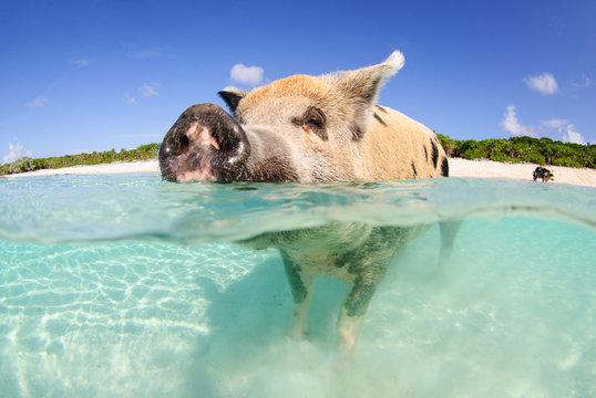 Happy pig on the beach in the Bahamas, over-under in clear water