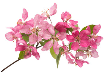 Pink apple flower isolated