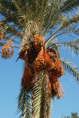 Palm tree laden with dates, Spain.