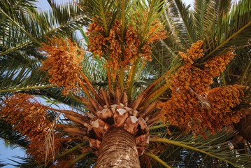 Date palm tree with dates, Lagos, Spain.