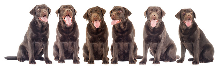 chocolate labrador dog looking