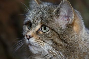 """Portrait einer Wildkatze """"Felis silvestris"""""""