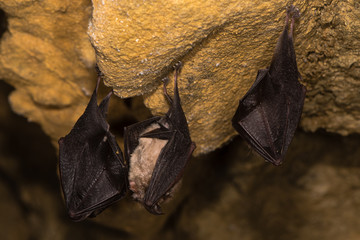 Lesser horseshoe bats (Rhinolophus hipposideros). Trio of rare bats about to take flight in a cave in Somerset, England, UK