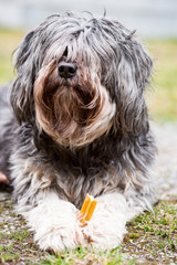 Hund mit lange Haaren