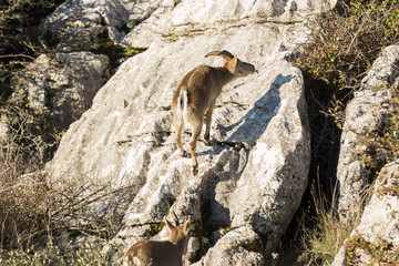 Ibex goat in rocky mountain