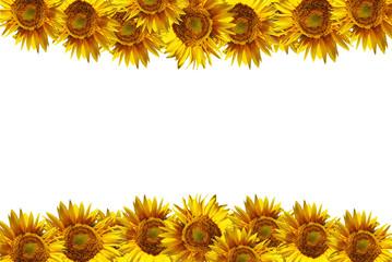 Girasoles aislados sobre fondo blanco para escribir texto, marco, flores