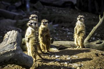 Eine Gruppe wachsamer Erdmännchen