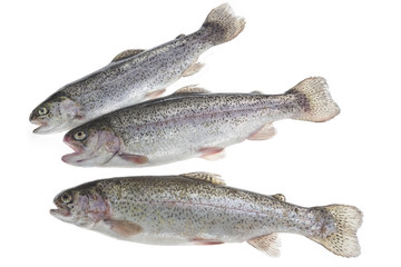 Trout freshly caught in a white white background