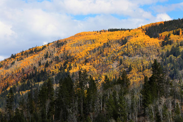 Fototapete - Fall Colors in Ashley National Forest