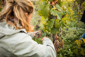 Woman cutting grapes from vine in vineyard