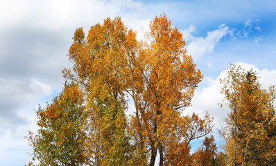 Fototapete - Aspen Trees and Fall Colors