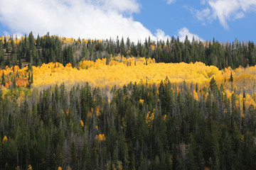 Fototapete - Bright Fall Colors of Aspen Trees
