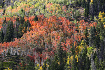 Fototapete - Bright Fall Colors in Ashley National Forest