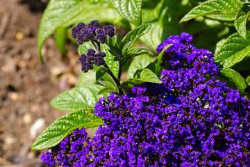 Vanilleblume - Garden Heliotrope in garden