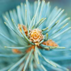 Blue Fir Sprout