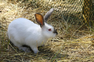 Rabbit in the paddock in a farm