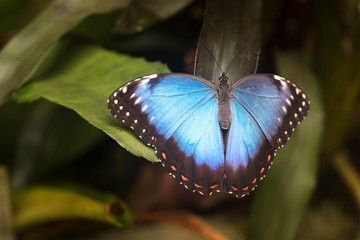 big Blue Morpho peleides Butterfly sitting on green leaves, insect in the nature habitat,