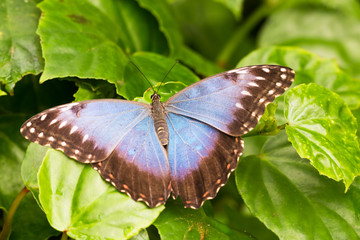 vivid blue morpho butterfly sitting on green leaves in tropical garden greenhouse