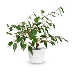 young Ficus benjamina a potted plant isolated over white.