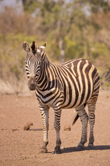 Burchell's zebra in Kruger National Park, South Africa