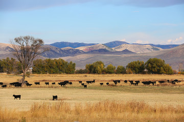 Wall Mural - Cattle Feeding in Field in Wyoming with Mountain Background